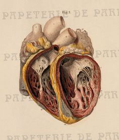 Antique Anatomical Illustration (hand-colored engraving) of the Heart: Anterior view of internal Cavities of the Ventricles. Medical Drawings, Medical Art, Illustrations Médicales, Medical Illustrations, Heart Anatomy, Male Figure Drawing, Medical Anatomy, Drawn Art, Heart Tree