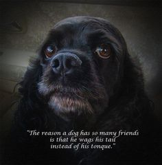 The reason a dog has so many friends... Cocker Spaniel