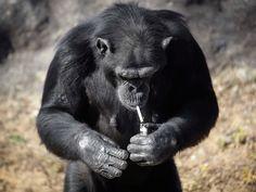 """Uma chimpanzé de 19 anos de idade fuma cerca de um maço de cigarros por dia no jardim zoológico de Pyongyang, na Coreia do Norte.Azalea, cujo nome coreano é """"Dalle"""", é uma das atrações do zoológico de Pyongyang, que passou por uma reforma e foi reaberto ao público em julho.  Segundo os funcionários do zoológico, é a própria chimpanzé que acende os cigarros usando um isqueiro. Apesar das imagens chocantes, os funcionários alegam que o animal não inala a fumaça."""
