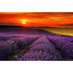 Lavender Fields ❤ liked on Polyvore featuring backgrounds