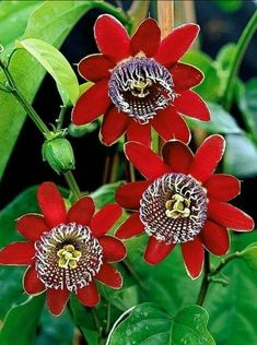 Blue Passion Flower (Passiflora incarnata) Passion Fruit Seeds Bonsai Tropical Flower Seeds Indoor Plants For Home Garden Unusual Flowers, Rare Flowers, Bulb Flowers, Amazing Flowers, Beautiful Flowers, Unusual Plants, Exotic Plants, Tropical Flowers, Flower Meanings