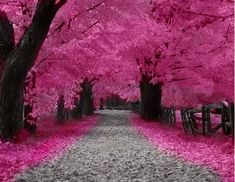"""Kind of reminds me of the Cherry Blossom trees during the funeral ceremony in the chapter """"All a dream."""" The trail and lighting is definitely different than what I envisioned. But the color is exactly how I imagined the Cherry Blossom trees in Kismet. Cherry Blossom Tree, Pink Blossom, Blossom Trees, Wheeping Cherry Tree, Japanese Cherry Tree, Types Of Cherries, Beautiful World, Beautiful Places, Trees Beautiful"""
