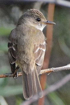 8.  Willow Flycatcher (Empidonax traillii)  Weld County, CO - August 2013 | by SteveMlodinow