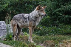The Mexican Gray Wolf is the smallest gray wolf subspecies present in North America, and it is also the most genetically distinct. Nearly wiped out in the 1900s as ranching took over the southwest, the species was listed as endangered and given protections in 1976.