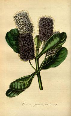 v.1 (1845) - Flore des serres et des jardins de l'Europe - Biodiversity Heritage Library