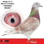 "43 - NL17-1129923 ""INTEELT MILOS"" ♂ | De Duif"