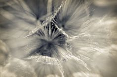 Dandelion Macro Photography Dandelion Puff by InLightImagery