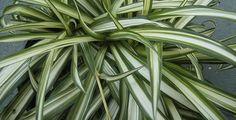 Proprietà del falangio, la pianta che purifica l'aria di casa