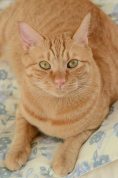 Cute Cats And Kittens, I Love Cats, Crazy Cats, Cool Cats, Kittens Cutest, Orange Tabby Cats, Red Cat, Pretty Cats, Beautiful Cats