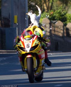A low-flying sea gull collides with John Hutchinson's Swan Yamaha Superbike as he hurtles down a straight at the Isle of Man TT motorcycle meet