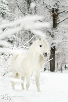 Welsh Pony, Katarzyna Okrzesik Photography. Her equine photos are gorgeous - worth checking out!