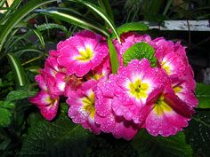 English Primrose Pink After The Rain by Joyce Dickens