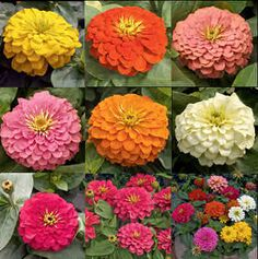 Zinnias flowers come in almost every color except blue and in many textures. Zinnias need full sun and rich, fertile soil. Dahlia Flower, My Flower, Summer Flowers, Cut Flowers, Zinnia Elegans, Language Of Flowers, Wedding Prep, Wedding Ideas, Flower Centerpieces