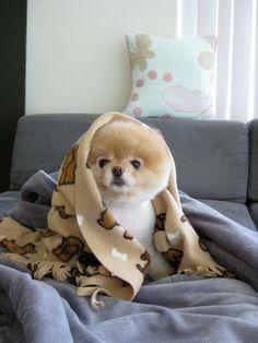 Boo, o cachorro mais fofo do mundo.: