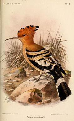 Hoopoe (Upupa epops) - Catalogue of the Birds in the British Museum bird art Bird Illustration, Illustrations, Hoopoe Bird, Audubon Birds, Birds Of America, Merian, All Birds, Bird Drawings, Bird Pictures