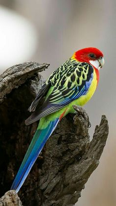 Eastern Rosella Parrot by MiracleOfCreation (ON) on Flickr.