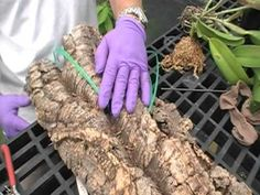 The Orchid Doctor - How to Mount  an Orchid Part 3 Final - orchidmania south florida
