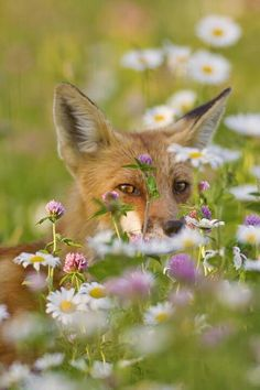 red fox - more foxes for Emma