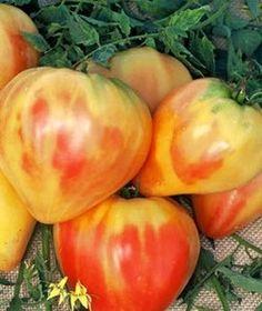 Orange Russian ox heart tomatoes. can't wait til mine ripen!