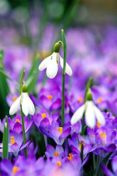 Howard Rice Garden Photography Gallery Garden Details is part of garden Photography Awesome - Spring flowers snowdrops and crocuses Photo Howard Rice Wild Flowers, Beautiful Flowers, Purple Flowers, Spring Bulbs, All Nature, Plantation, Flower Boxes, Spring Garden, Daffodils