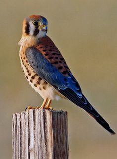Housing for Kestrels - American Kestrels are faced with a lack of suitable nesting cavities. You can help them out by building this nest box, which is ideal for kestrels.