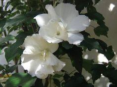 Hibisco, flores de formas exuberantes e belas cores, a planta tem bom mercado no varejo de ornamentais e porte para servir de cerca viva. P...
