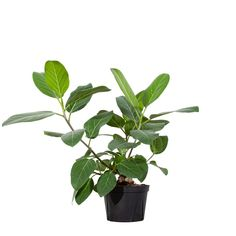 The beautiful Ficus Audrey is very adaptable and very low maintaince. This plant prefers high humidity and medium to bright indirect light, but it can still do very nicely in lower light and less humidity. Easy Care Houseplants, Indoor Plants Online, Organic Ceramics, Lower Lights, Mini Plants, Fiddle Leaf Fig, Tree Shapes, Plant Sale, Ficus