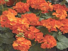 15 Geranium Seeds Saturn Orange #saturnorange