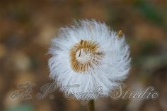 Dandelion on the wind photography print from A.P. Craft - Studio by DaWanda.com