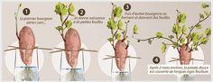 Observez le développement de la patate douce