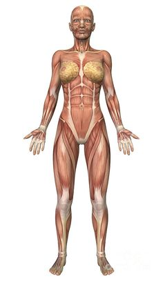 Female muscular system front view Canvas Art - Stocktrek Images x Abdominal Muscles Anatomy, Muscle Anatomy, Human Tissue, Muscle Structure, Muscular System, Muscular Women, Human Anatomy, Ocean Life, Human Body