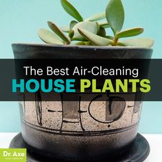The Best Houseplants that Remove Pollution - Dr. Axe: Bromeliad, Dracaena, Spider Plant, and Jade Plant