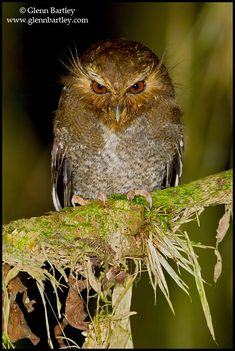 Long-whiskered Owlet (Xenoglaux loweri). Photo by Glenn Bartley.