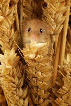 Tiny mouse in the sheaves by mark bridger