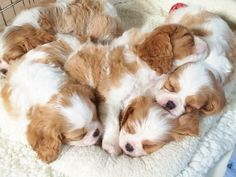The Cavalier King Charles Spaniel is a direct descendant of the King Charles Spaniel and is named after King Charles II. The earliest appearance of this breed came in when King Charles Spaniels were mixed with Pugs. Cute Puppies, Cute Dogs, Cavalier King Charles Spaniel, Baby Animals, Cute Animals, Spaniel Puppies, Pyrenees Puppies, I Love Dogs, Dog Lovers