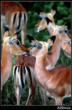 Impala, Botswana www. Time For Africa, Out Of Africa, International Travel Insurance, Chobe National Park, Okavango Delta, African Safari, Fauna, Travel Pictures, Animal Kingdom
