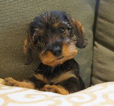 wirehaired dachshund pup So cute!
