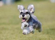 Ranked as one of the most popular dog breeds in the world, the Miniature Schnauzer is a cute little square faced furry coat. Baby Puppies, Cute Puppies, Cute Dogs, Dogs And Puppies, Miniature Schnauzer Puppies, Schnauzer Puppy, Fox Terriers, Baby Animals, Cute Animals