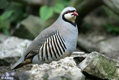 Chukar; no sexual dimorphism in pelage; upland game