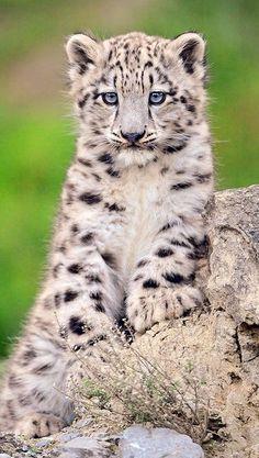 Baby Snow Leopard! , from Iryna