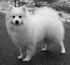 Japanese Spitz... close relation to the pom.