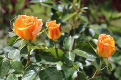 Rózsák őszi metszése - olvasói tapasztalatok » Balkonada
