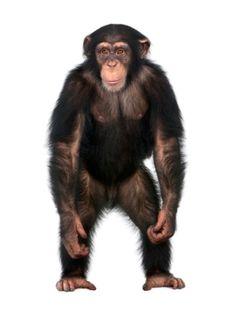 Young Chimpanzee standing up like a human - fotografia de stock