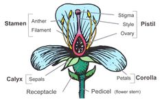 26 best Anatomy of a Flower images on Pinterest | Flowers, Parts of ...
