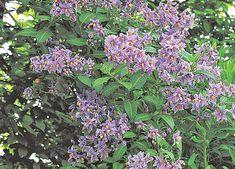 Solanum grimpant (Morelle faux jasmin) - J. Le Bret - Rustica