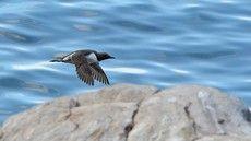 ♫ Arao Común - Escucha la voz del pájaro