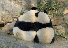 Yang Yang and Fu Hu at the Vienna Zoo on January © Norbert Potensky. Animals And Pets, Baby Animals, Funny Animals, Cute Animals, Wild Animals, Niedlicher Panda, Cute Panda, Beautiful Creatures, Animals Beautiful
