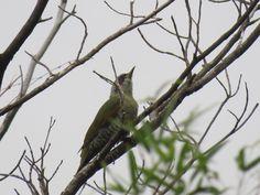 アオゲラ. Japanese green woodpecker. 14 September 2016.