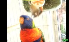 Video Tootsie Talks Rainbow Lorikeet