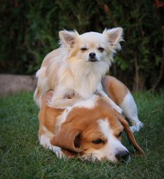 Gasper (my chihuahua) and Tatoo (my beagle) on http://www.yummypets.com/